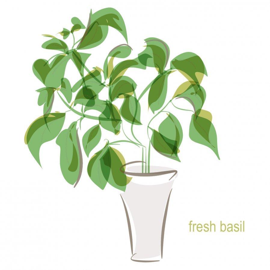 fresh basil plant illustration